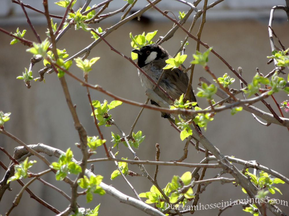 پرنده زیبا روی درخت سیب...!