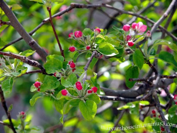 شکوفه های درخت سیب