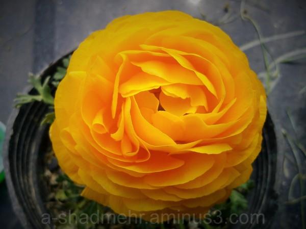 گلِ گلدون