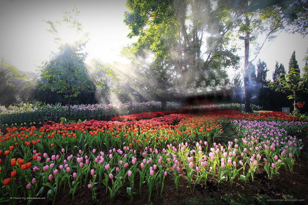 Tulip Thailand serademain