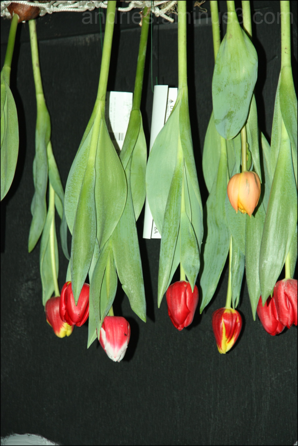 Tulips up side down