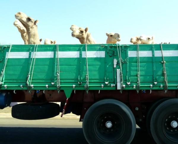 Camel truck ride