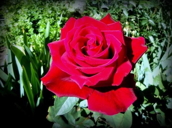 tiempo de rosas
