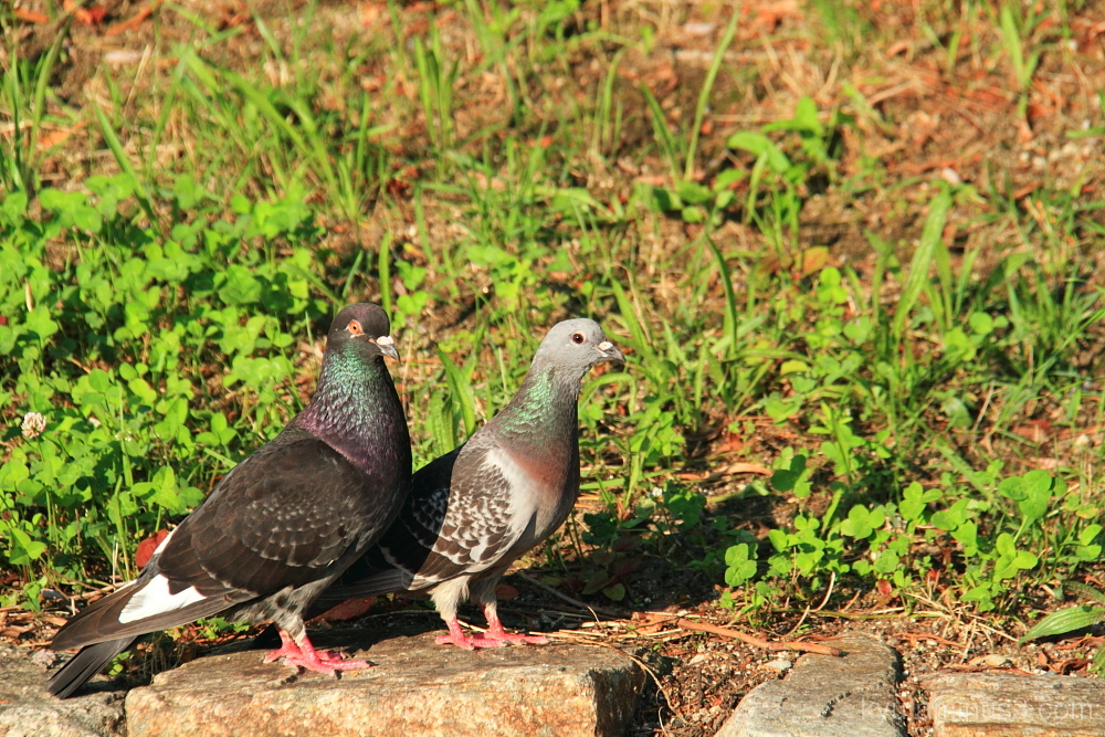 Pigeons at Komo river