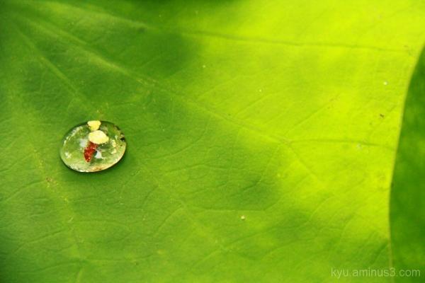 Lotus leaf