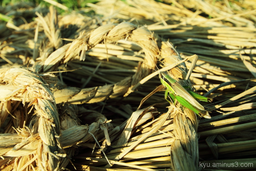 Locust in the rice paddy