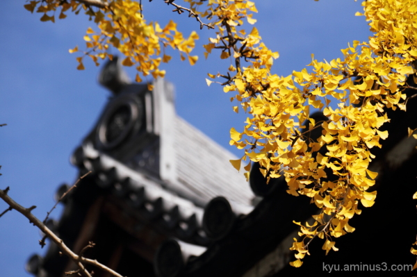 Ginkgo near the roof