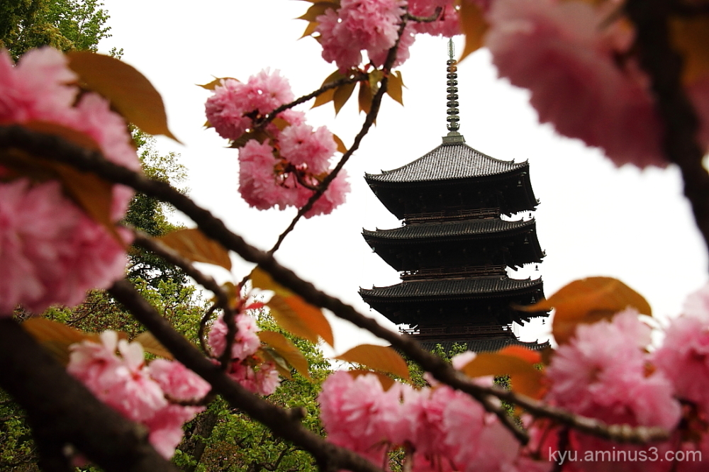 Framing by double cherry blossoms