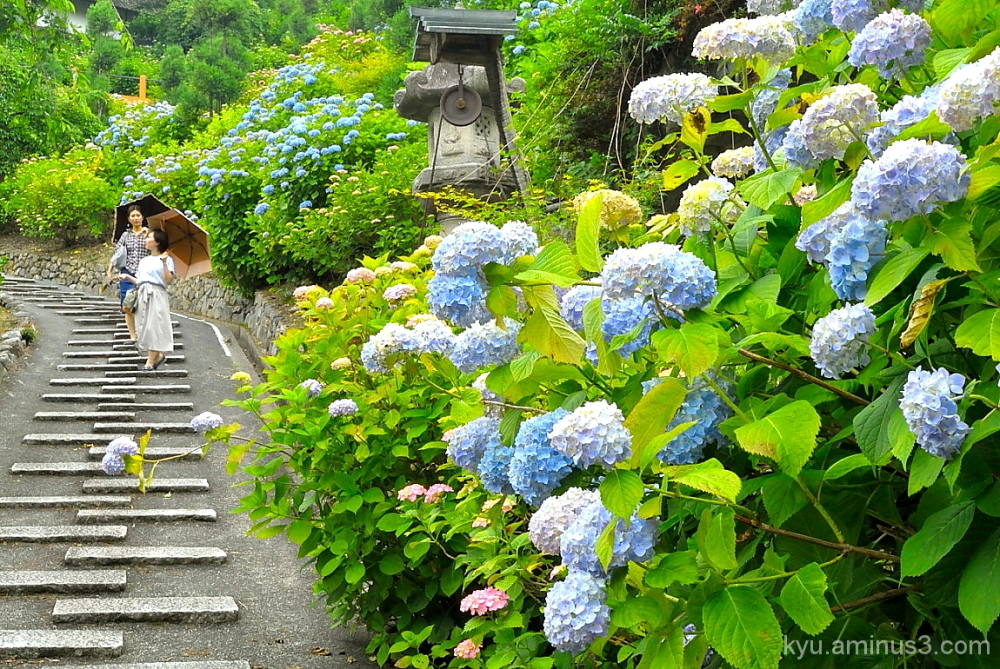 Enjoying a walk by full-bloom hydrangea flowers