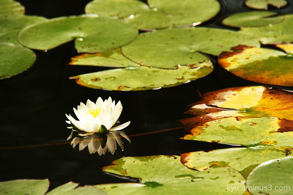 A water lily flower in autumn