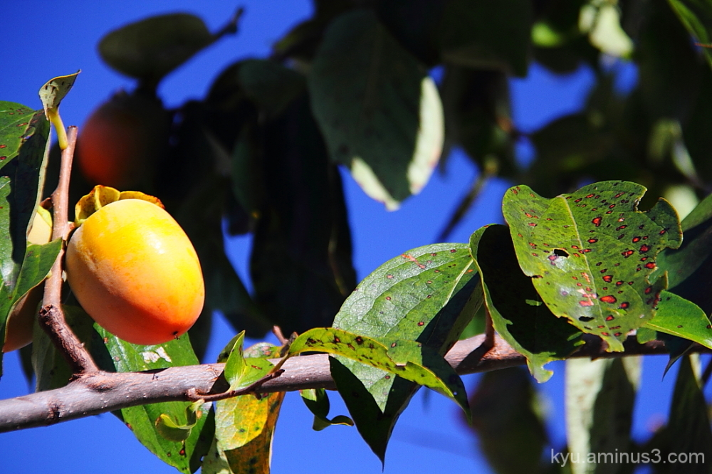 A persimmon on the branch