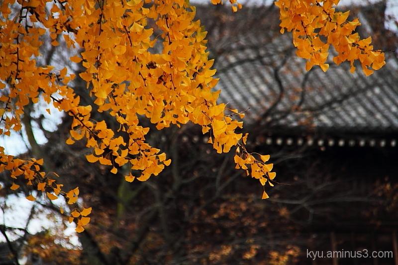 Golden yellow gingko