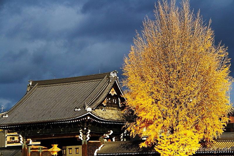 A big gingko tree at Nishihonganji