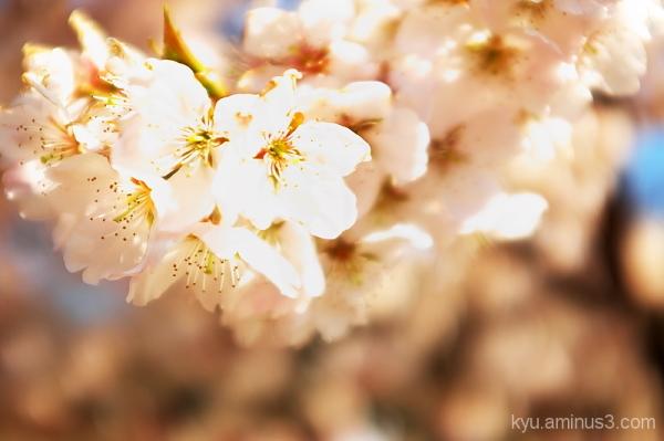 Sakura-iro (Cherry color)