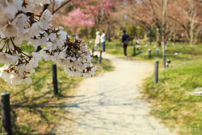 A path along cherry blossoms