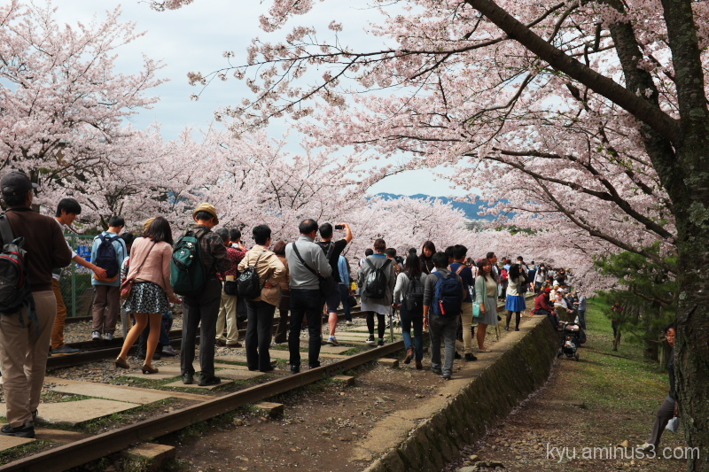 Through the cherry-blossom tunnel