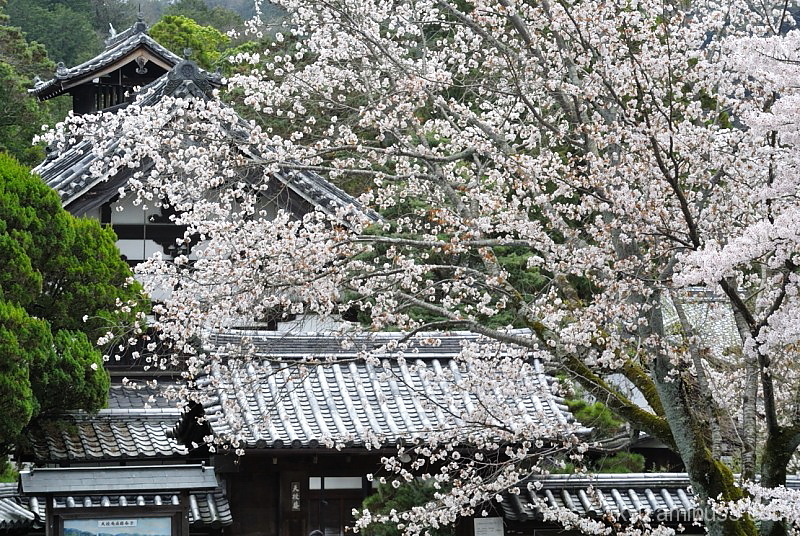 Full bloom at Tenjyuan