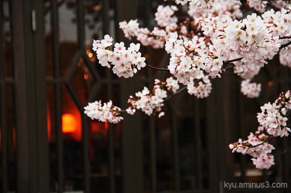 Cherry blossoms by a cafe