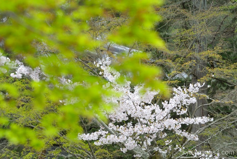 Cherry blossoms in green mapple leaves