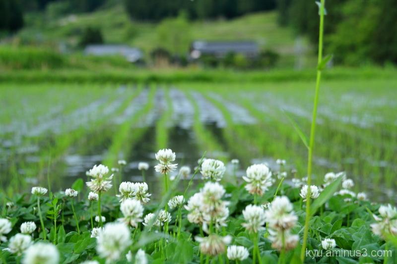 Rice paddy in spring
