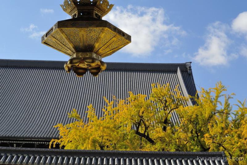 autumn gingko-tree Nishihonganji temple Kyoto J1