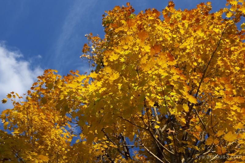 Golden-yellow maple
