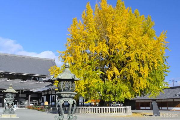 Big gingko tree in a temple
