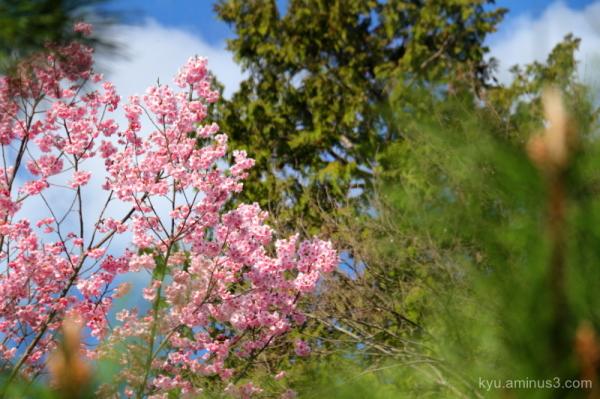 spring cherry-blossoms blue-sky temple Kyoto