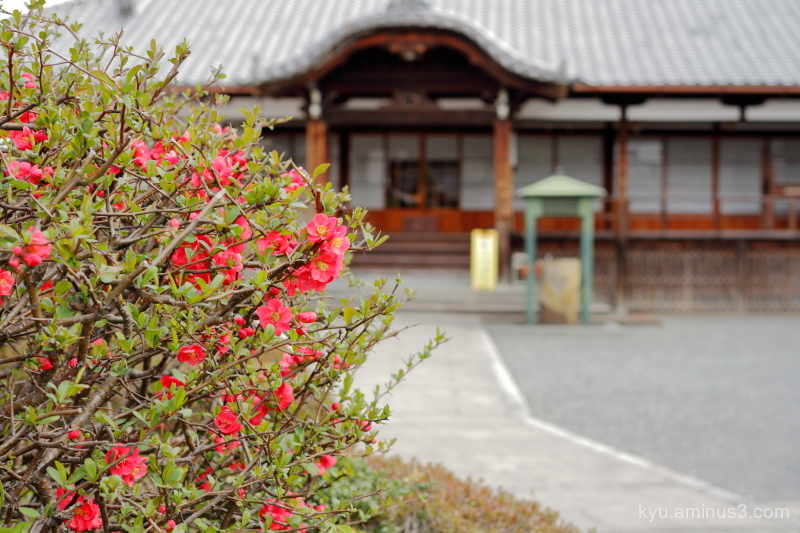 spring approach japanese-quince sokujyoin Kyoto