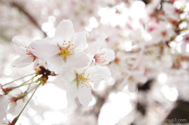 spring full-bloom cherry-blossoms Bukkouji temple