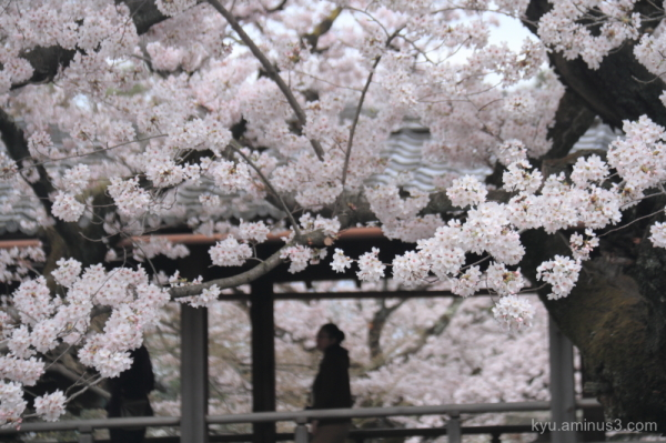spring cloister cherry-blossoms myorenji temple