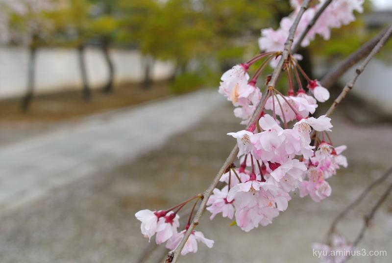spring  cherry-blossoms Myokenji temple Kyoto