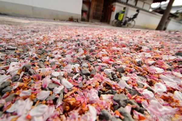 spring cherry-blossoms petals temple