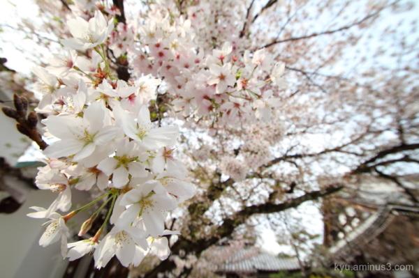 cherry-blossoms full-bloom Honryuji temple Kyoto