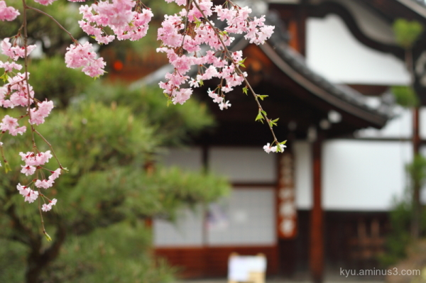 cherry-blossoms myokenji temple kyoto