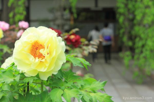 peony flowers honmanji temple kyoto