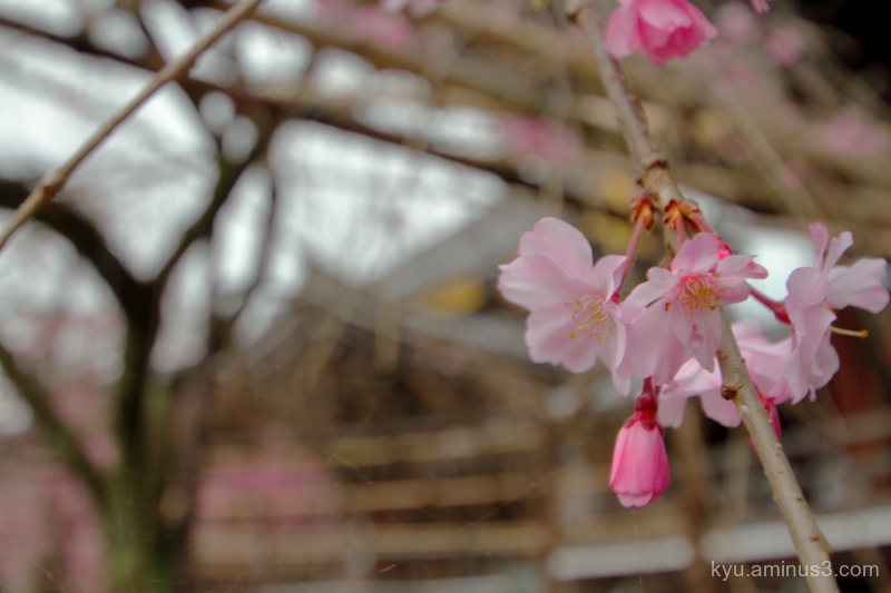 drooping-cherry blossoms Bukkouji temple