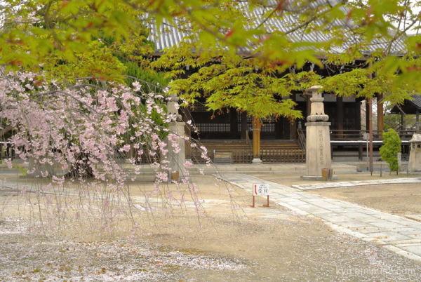 green-maple cherry-blossom Myokenji temple Kyoto