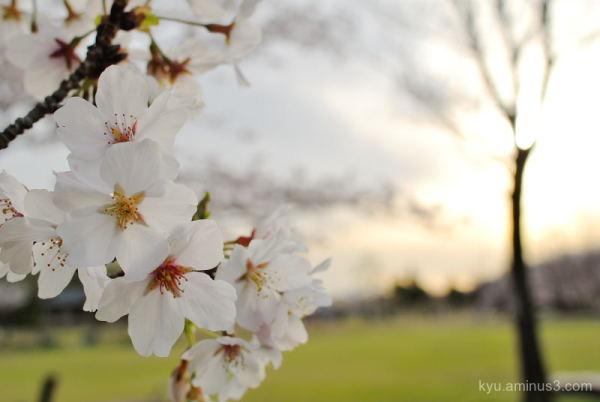 cherry-blossoms park Kyoto