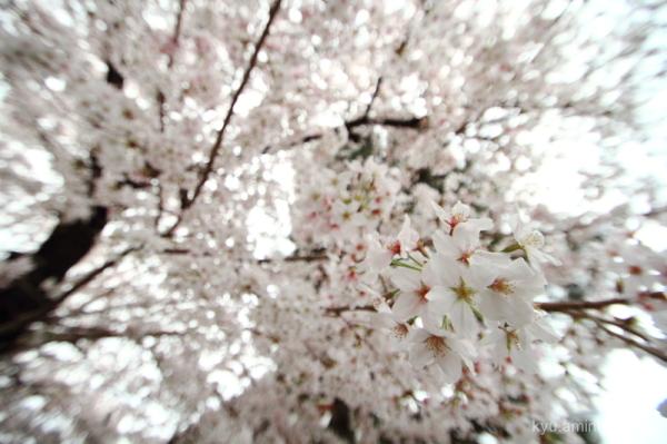 cherry-blossoms full-bloom Bukkouji temple Kyoto