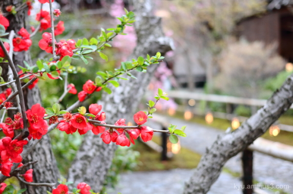 Japanese-quince flowers Kangaan temple Kyoto