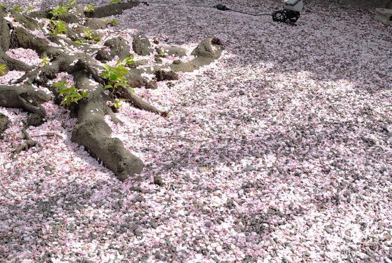cherry-blossoms petals Bukkouji temple Kyoto
