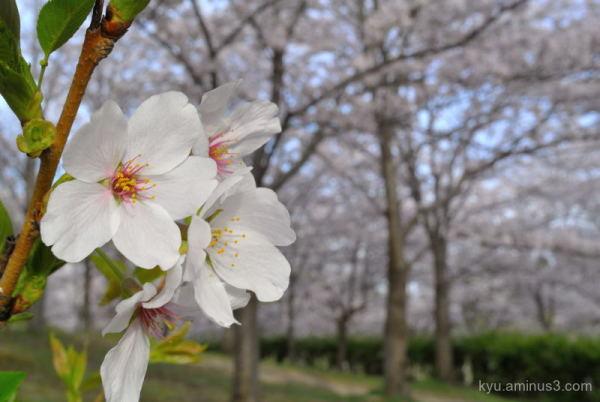 cherry-blossoms full-bloom park Kyoto