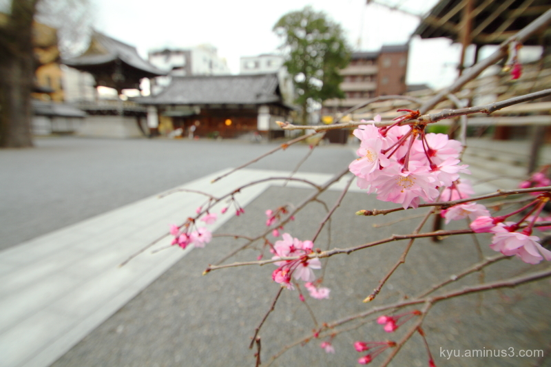 drooping-cherry blossoms Bukkouji temple Kyoto