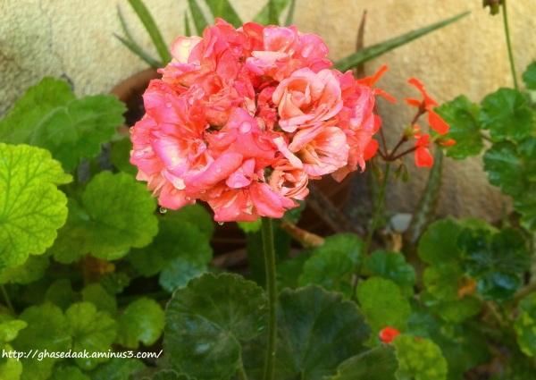 Geranium pinksmile ordibehesht92