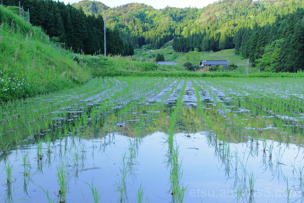 rice paddy 畑