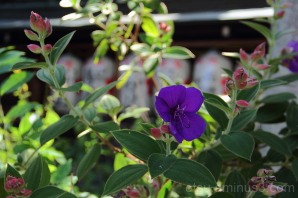 Purple flower in the shrine 紫の花 下京区 神社