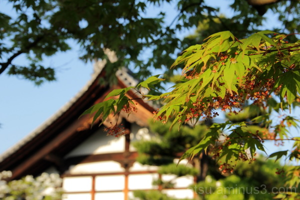 green leaves and temple 青もみじと大徳寺