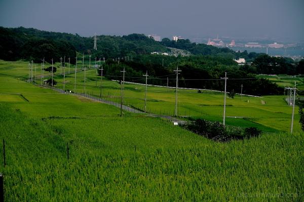 rice paddy field 田んぼ