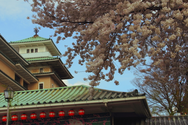 Cherry blossoms with the old architecture 歌舞練場